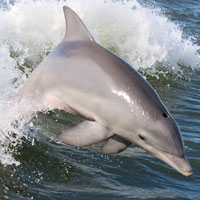 What Dolphin looks like.