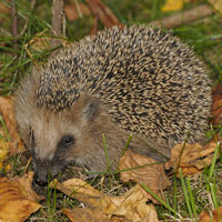 What Hedgepig looks like.