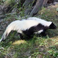 What Hooded Skunk looks like.