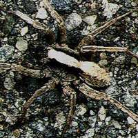 What Wolf Spider looks like.