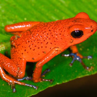 What Strawberry Poison-Dart Frog looks like.