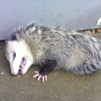 Opossum Playing Dead... Probably