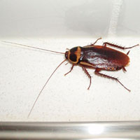 What Cockroach looks like.