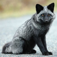 What Silver Fox looks like.